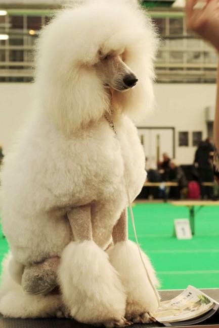 Các kiểu cắt tỉa lông cho chó Poodle