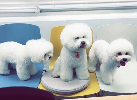 Song Hye Kyo nuôi đến ba chú cún trong nhà